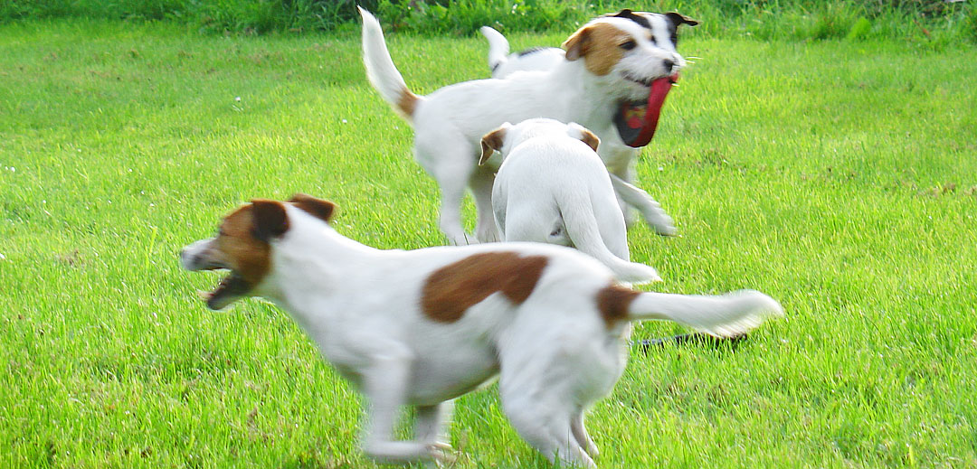 Kennel LuriFox Jack Russell-terriere